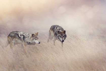 Story of the Two Wolves - Motivation and Positive Energy